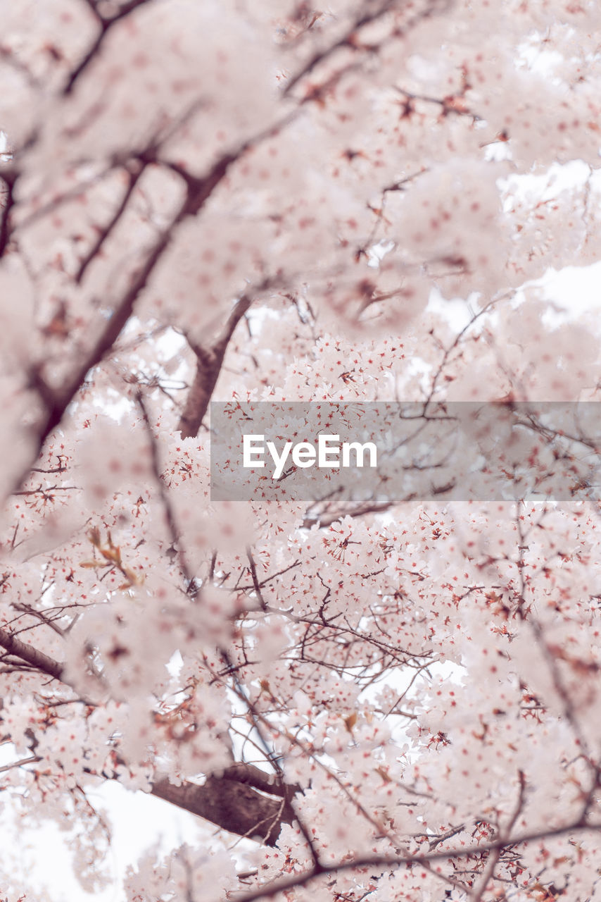 pink color, flower, flowering plant, blossom, plant, cherry blossom, springtime, tree, fragility, freshness, growth, beauty in nature, backgrounds, nature, no people, full frame, close-up, vulnerability, cherry tree, branch, flower head, softness