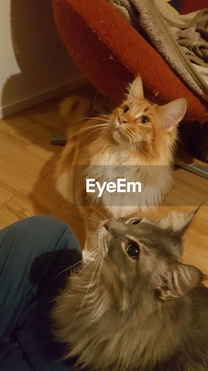 domestic animals, pets, mammal, indoors, domestic cat, animal themes, home interior, no people, one animal, feline, looking at camera, portrait, sitting, close-up, day
