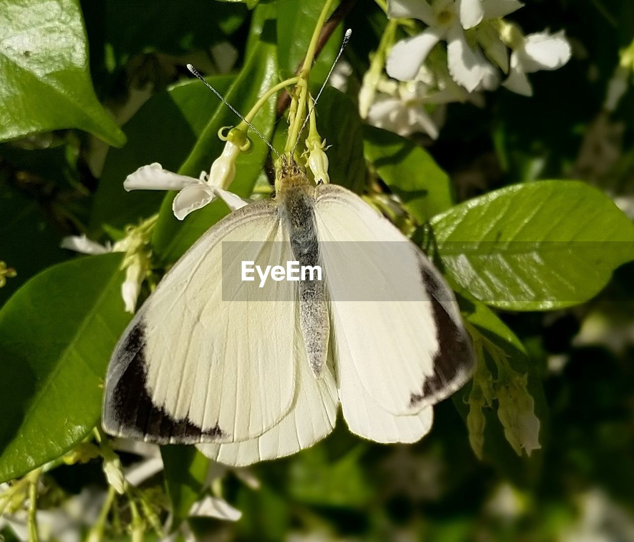 plant, growth, beauty in nature, close-up, freshness, flower, leaf, fragility, vulnerability, nature, flowering plant, no people, day, plant part, focus on foreground, white color, insect, invertebrate, animal themes, petal, flower head, outdoors, animal wing, pollen, butterfly - insect, pollination