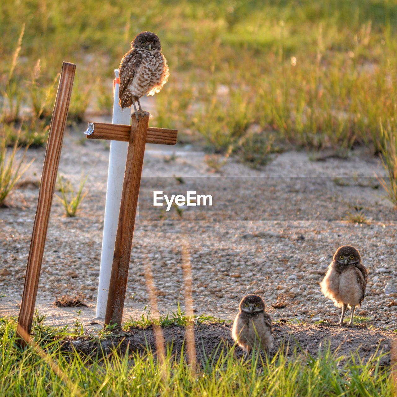 Burrowing Owls On Field