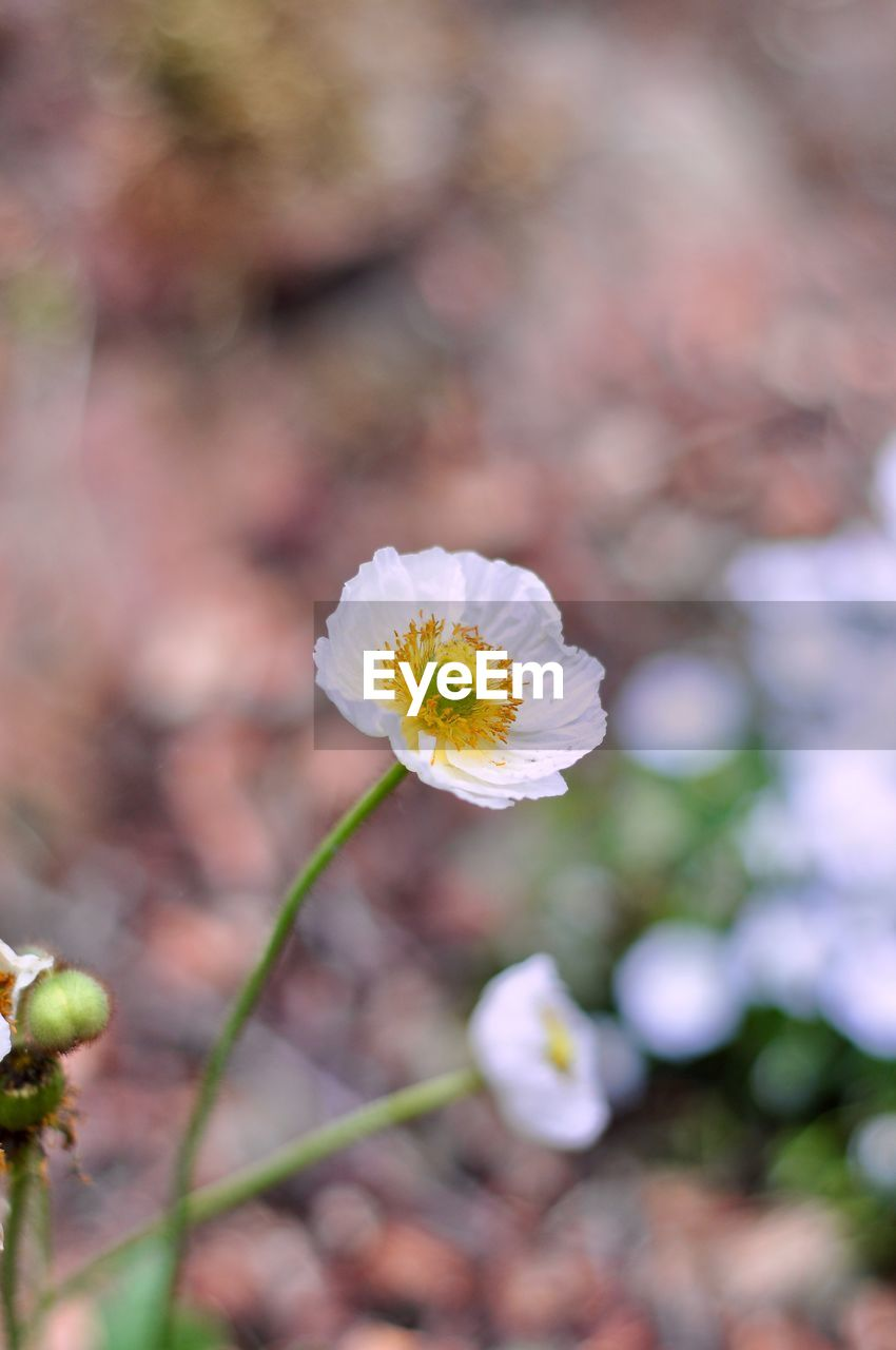 flower, flowering plant, fragility, vulnerability, freshness, plant, beauty in nature, growth, petal, inflorescence, close-up, flower head, day, selective focus, nature, pollen, no people, focus on foreground, white color, yellow, springtime, outdoors