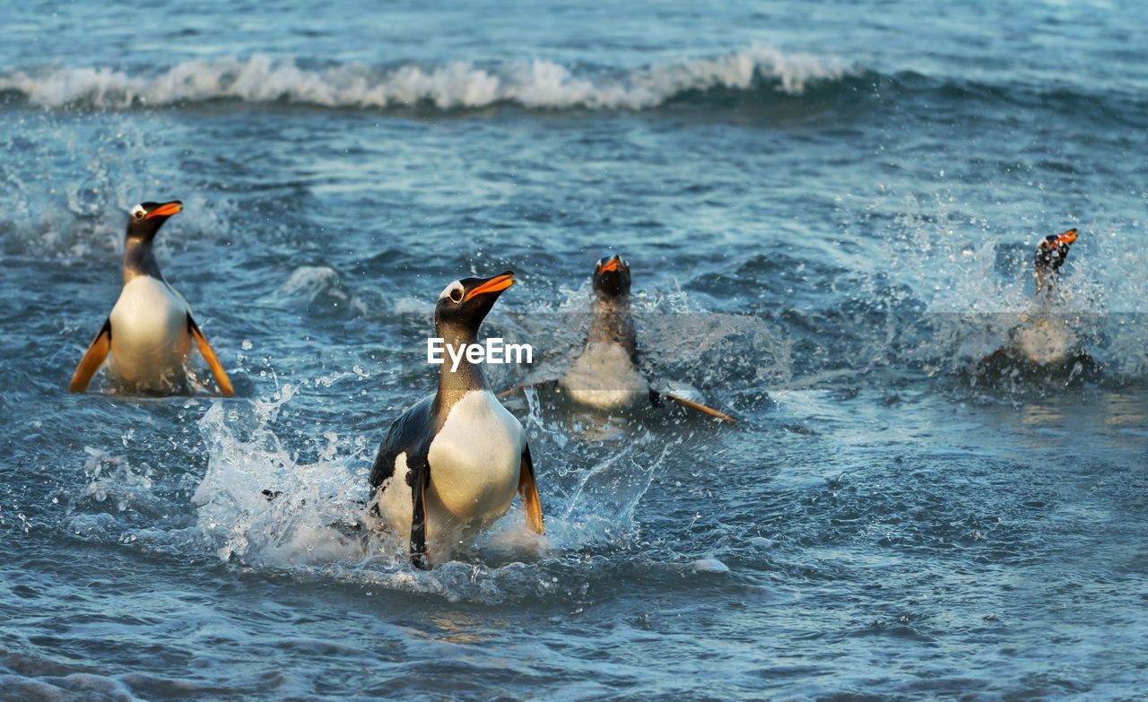 Penguins swimming in sea