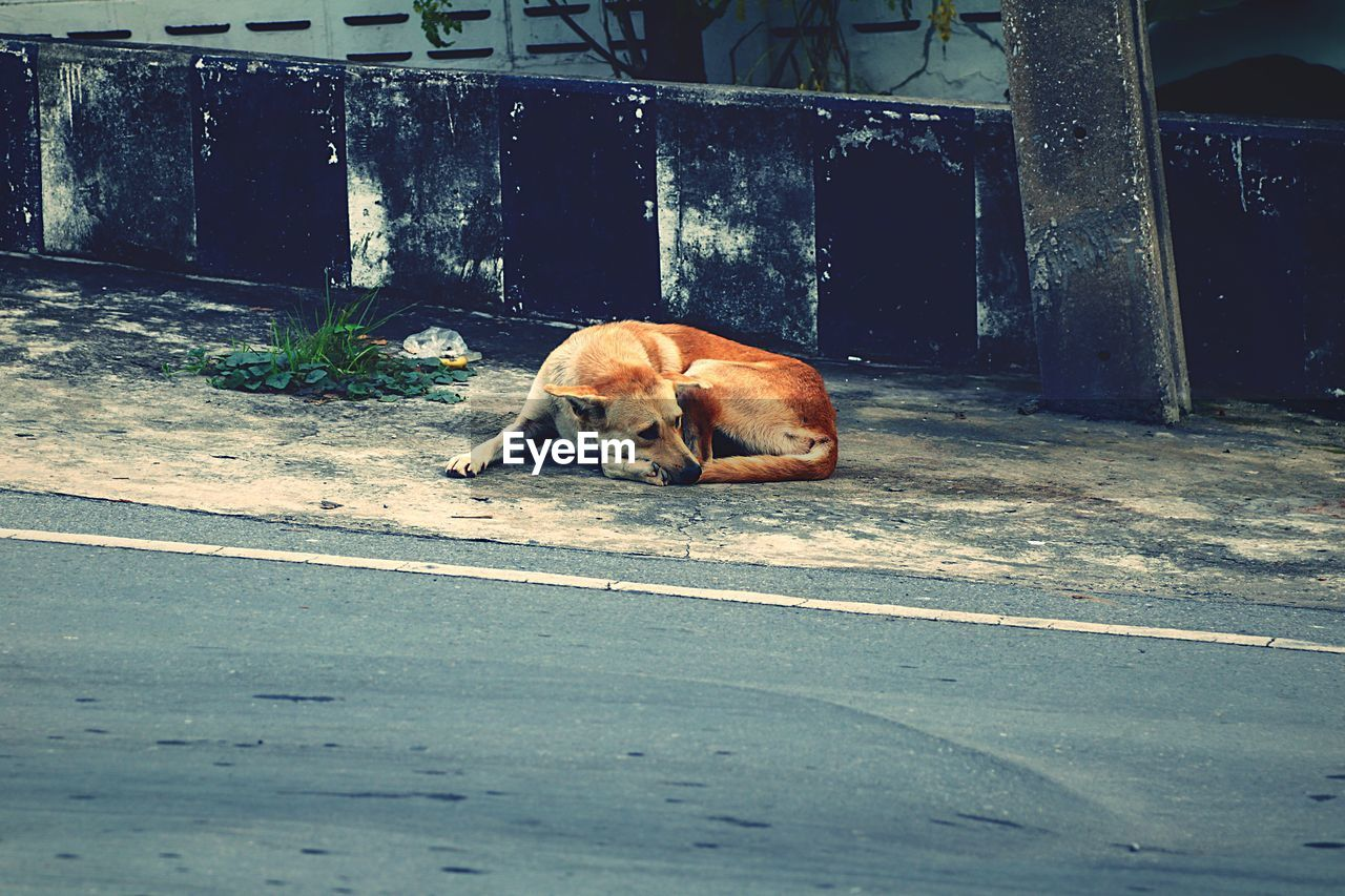 mammal, one animal, animal themes, animal, vertebrate, domestic, domestic animals, pets, canine, dog, no people, relaxation, day, street, city, footpath, resting, outdoors, nature, architecture