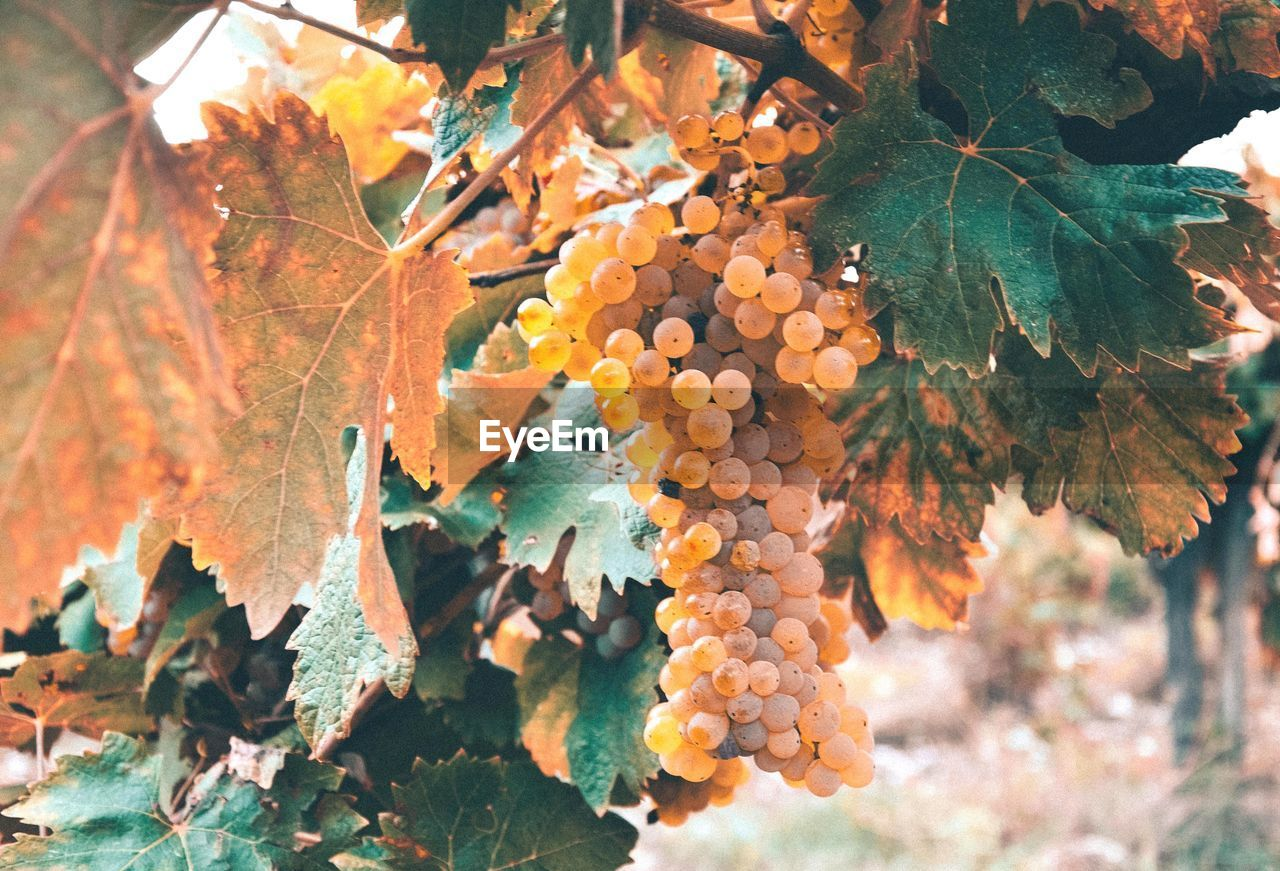leaf, plant part, growth, autumn, fruit, tree, healthy eating, nature, plant, close-up, no people, food and drink, food, day, beauty in nature, orange color, grape, change, focus on foreground, outdoors, leaves