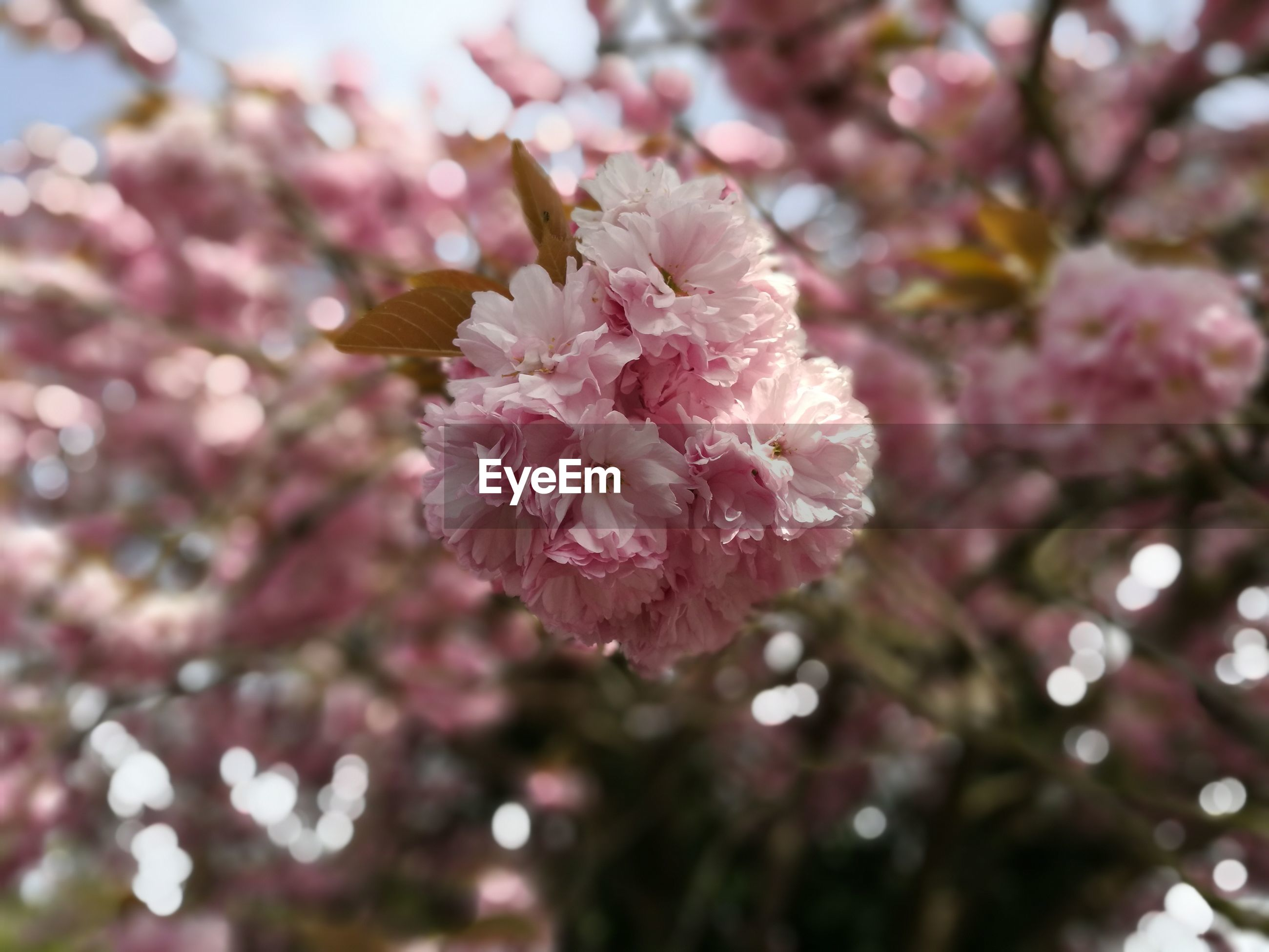 flower, pink color, nature, beauty in nature, petal, growth, freshness, flower head, close-up, no people, fragility, springtime, blossom, outdoors, day