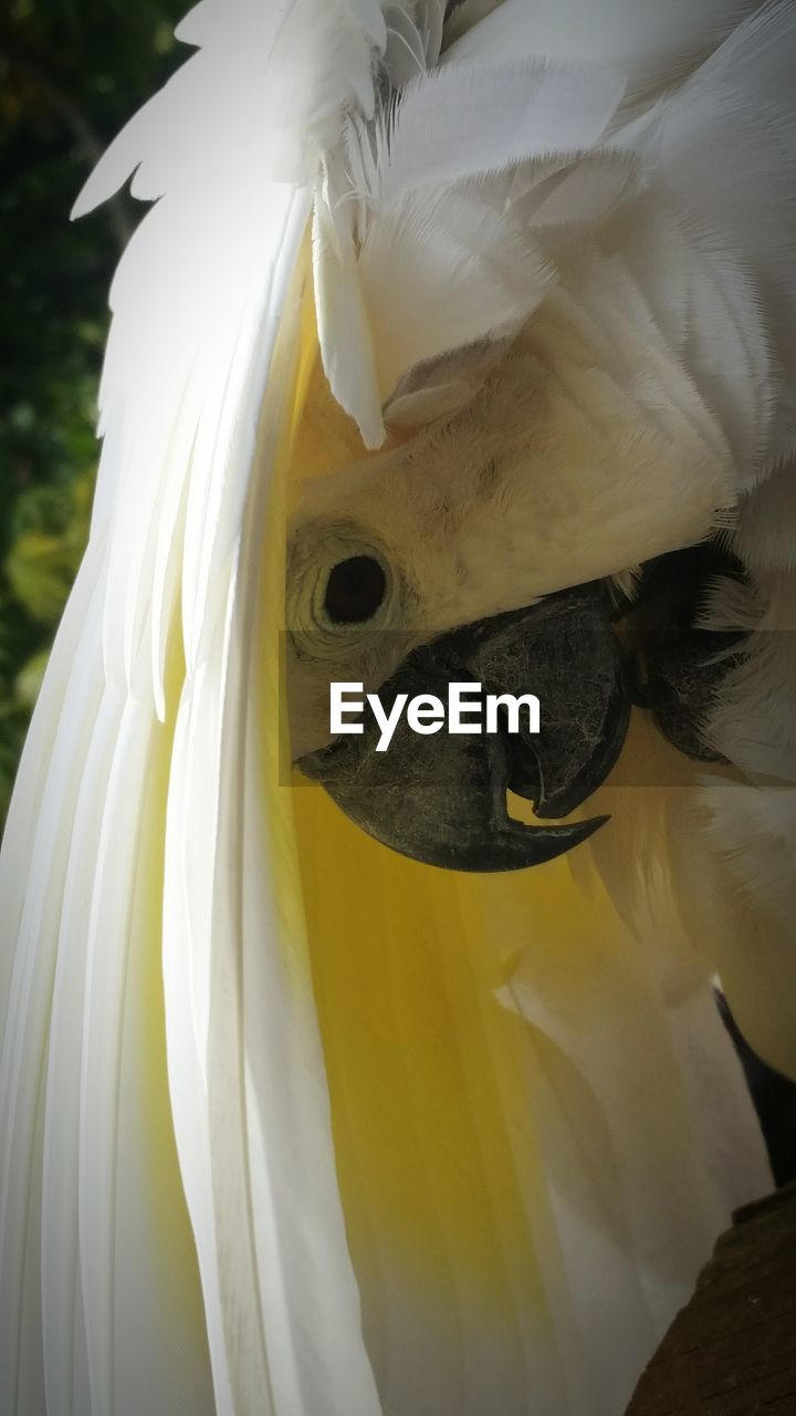 close-up, white color, animal themes, one animal, vertebrate, no people, animal, animal wildlife, animal body part, animals in the wild, focus on foreground, bird, day, cockatoo, yellow, animal head, outdoors, nature, beauty in nature, beak, animal eye, mouth open
