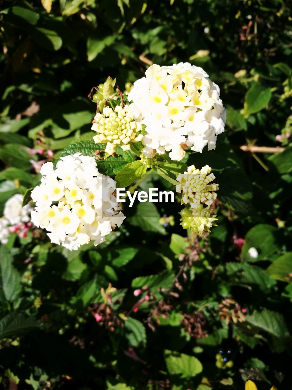 flower, petal, fragility, white color, freshness, beauty in nature, nature, growth, flower head, plant, day, no people, blooming, outdoors, yellow, lantana camara, close-up