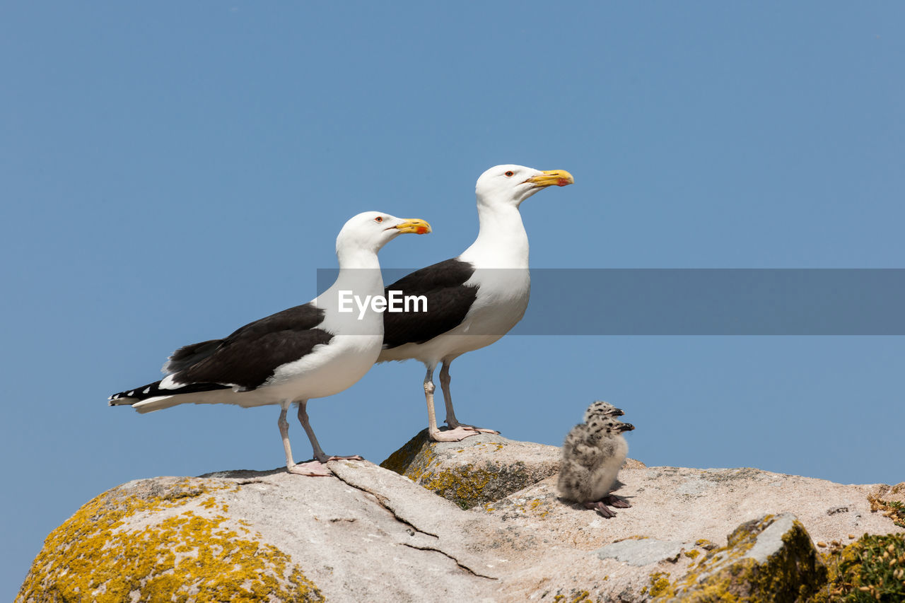 bird, vertebrate, animals in the wild, animal themes, animal, rock, animal wildlife, solid, group of animals, clear sky, nature, perching, rock - object, blue, sky, no people, day, copy space, two animals, seagull
