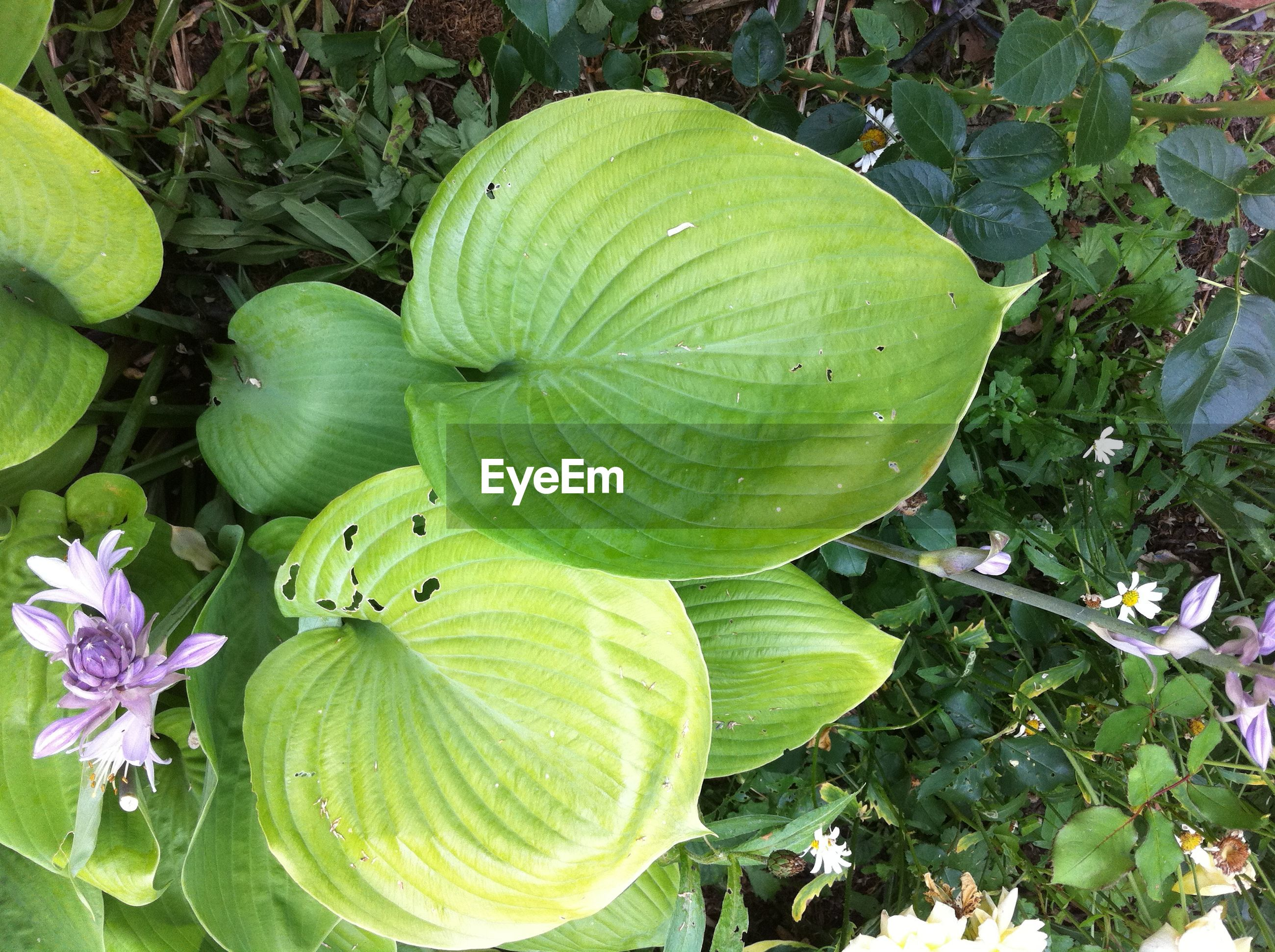 HIGH ANGLE VIEW OF WATER LILY ON GREEN LEAVES