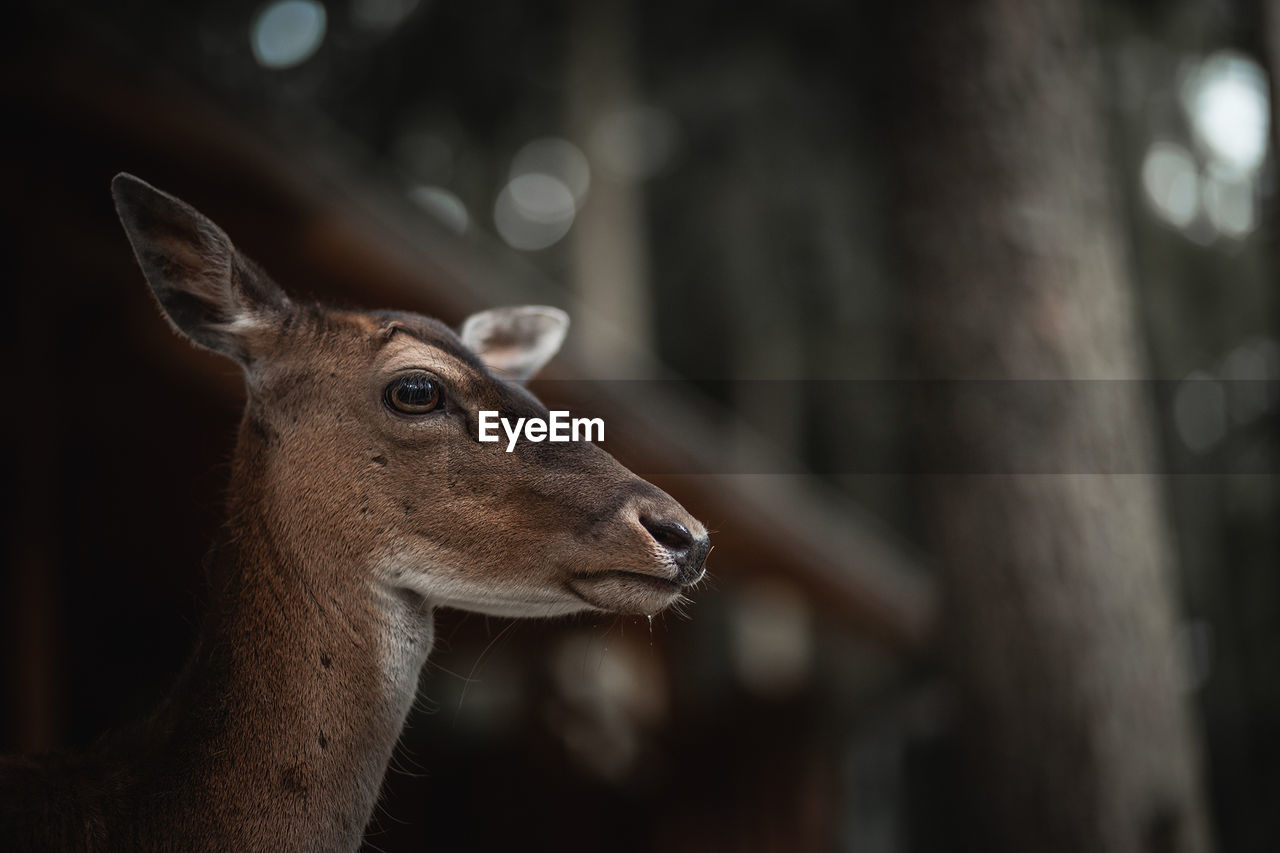 Profile View Of Deer In Forest