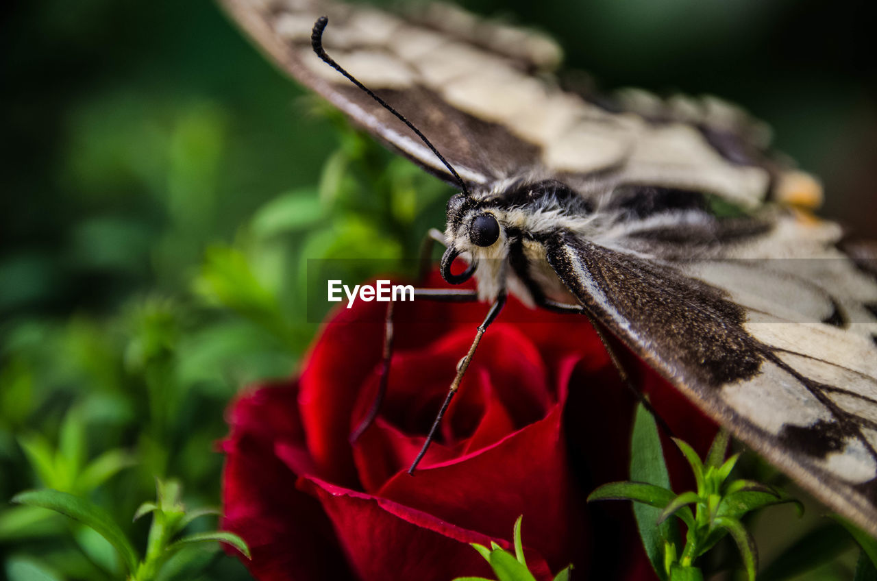 one animal, insect, animals in the wild, animal themes, red, nature, animal wildlife, plant, close-up, leaf, flower, petal, outdoors, fragility, day, beauty in nature, growth, no people, flower head, freshness