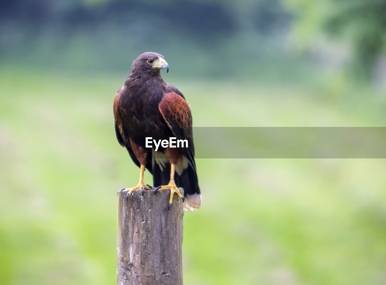 animal wildlife, vertebrate, bird, animals in the wild, animal themes, animal, perching, one animal, post, focus on foreground, wooden post, wood - material, no people, day, bird of prey, nature, outdoors, close-up, pole, zoology, eagle