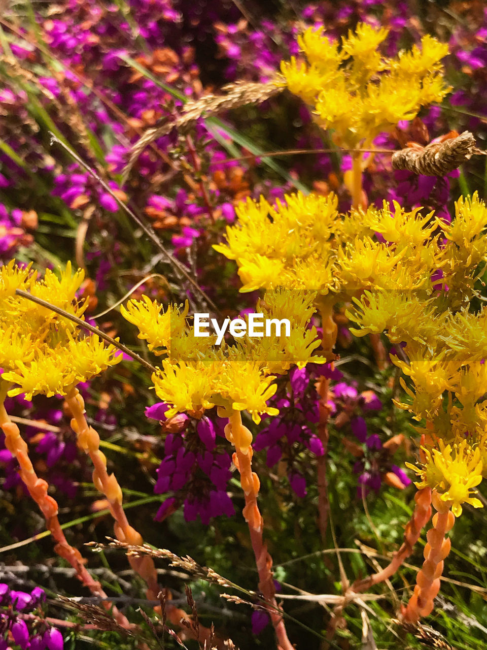 flower, flowering plant, plant, freshness, fragility, vulnerability, beauty in nature, yellow, growth, close-up, nature, petal, day, no people, flower head, inflorescence, land, focus on foreground, outdoors, botany, purple, pollination