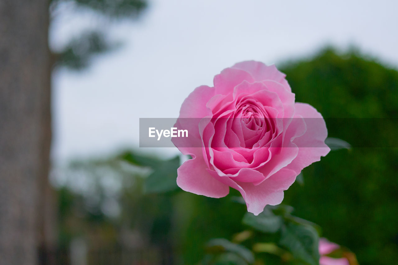 flowering plant, flower, plant, rose, pink color, beauty in nature, rose - flower, close-up, petal, vulnerability, freshness, fragility, flower head, inflorescence, focus on foreground, growth, nature, no people, day, outdoors
