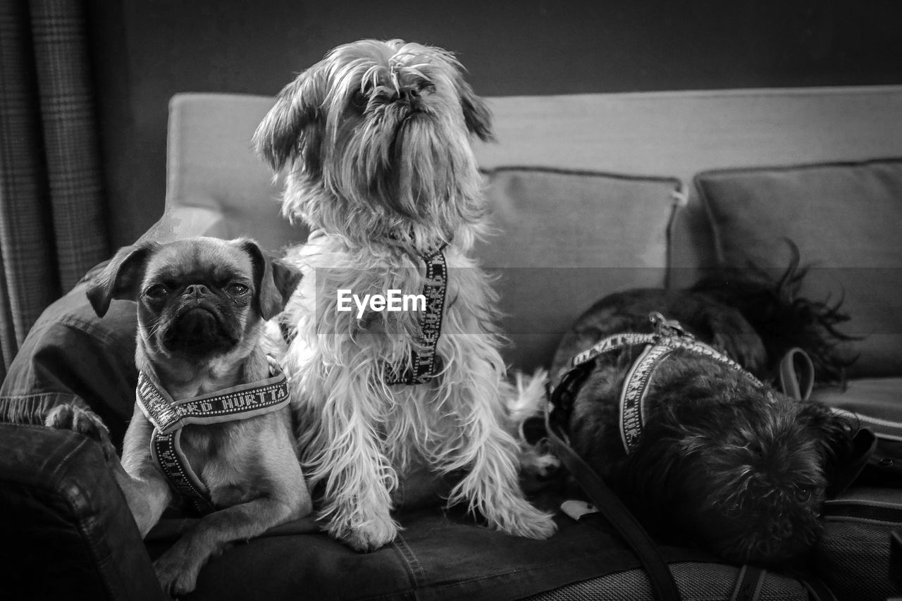 Three Dogs Sitting On Couch