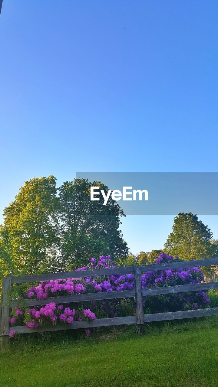 growth, tree, clear sky, nature, beauty in nature, copy space, no people, flower, purple, tranquil scene, field, tranquility, day, blue, outdoors, grass, scenics, plant, landscape, sky, fragility, freshness