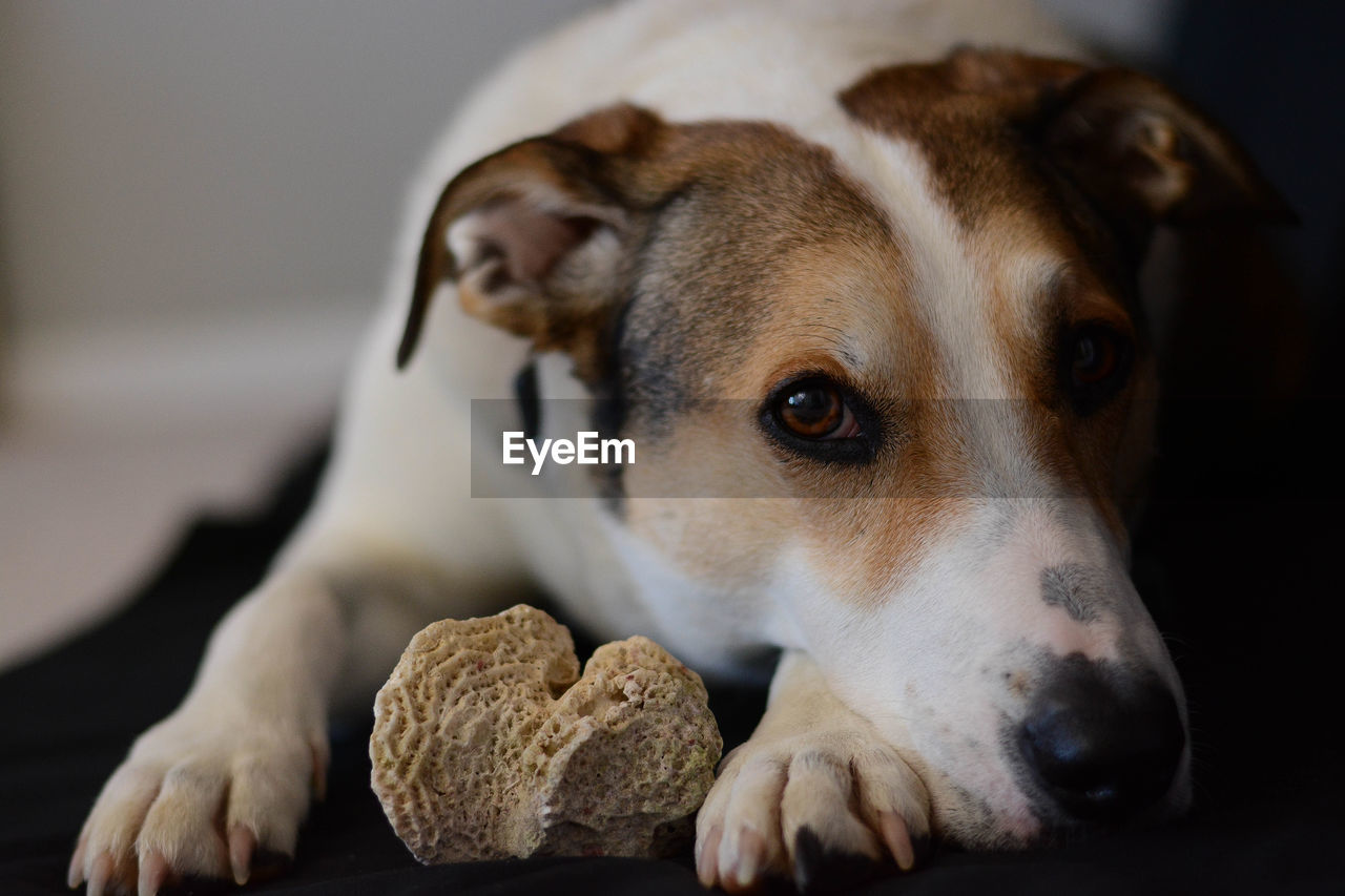 Portrait Of Dog With Rock At Home