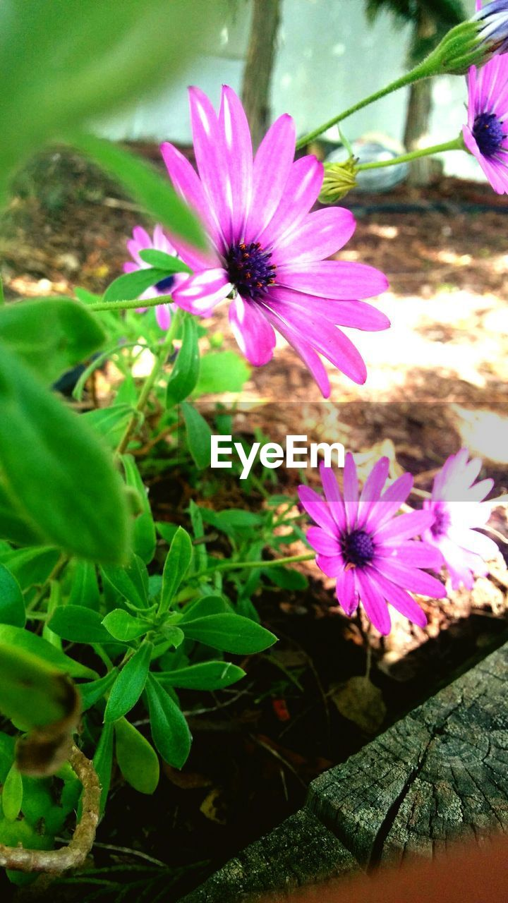 flower, growth, plant, nature, petal, freshness, fragility, beauty in nature, purple, blooming, flower head, leaf, outdoors, day, no people, osteospermum, close-up