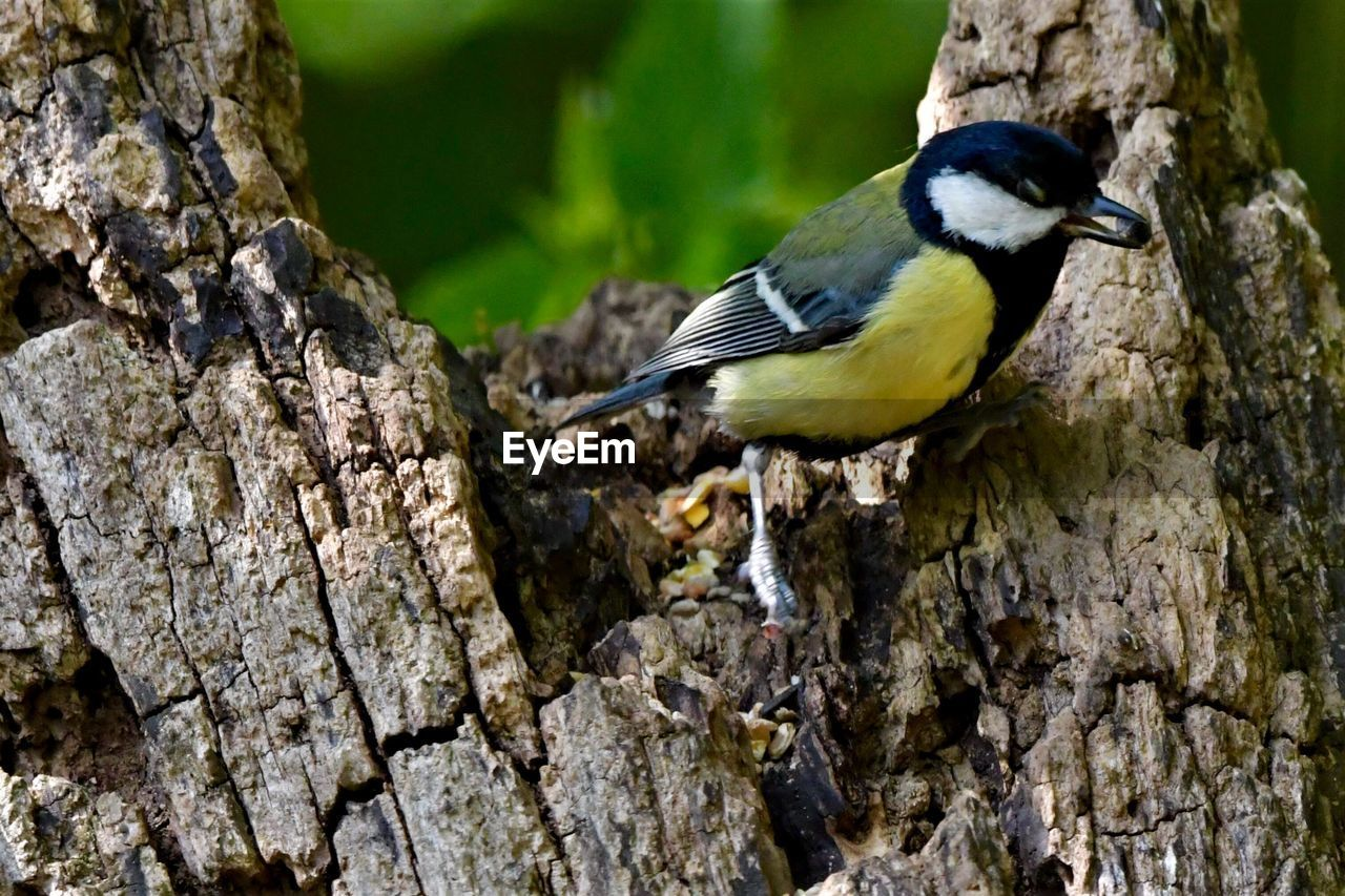animals in the wild, animal wildlife, animal themes, animal, one animal, bird, vertebrate, tree trunk, trunk, tree, focus on foreground, perching, no people, day, bluetit, textured, close-up, great tit, outdoors, plant, lichen
