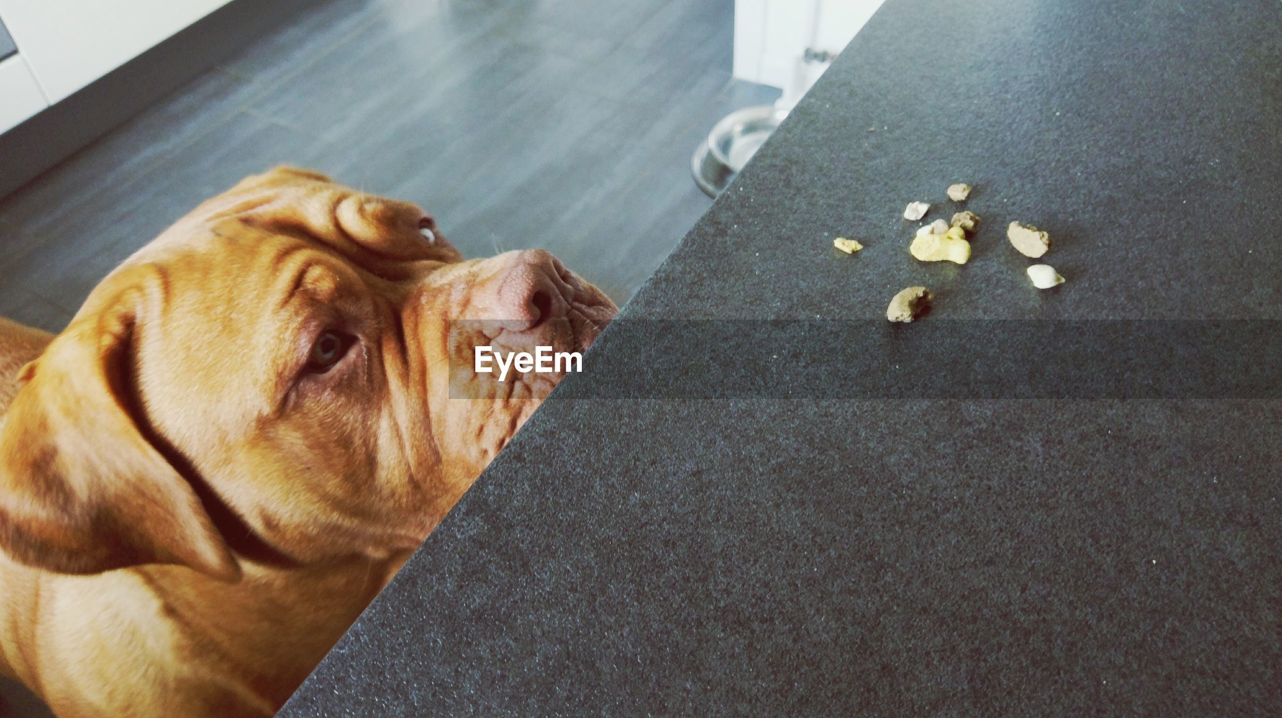 High angle view of dogue de bordeaux looking at food on table