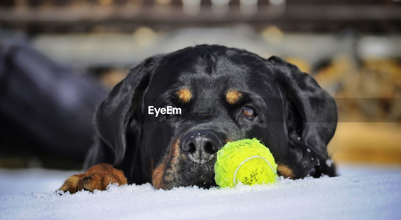 canine, dog, one animal, mammal, pets, domestic animals, domestic, ball, animal, animal themes, black color, focus on foreground, vertebrate, close-up, portrait, no people, relaxation, looking at camera, snow, tennis ball, animal head