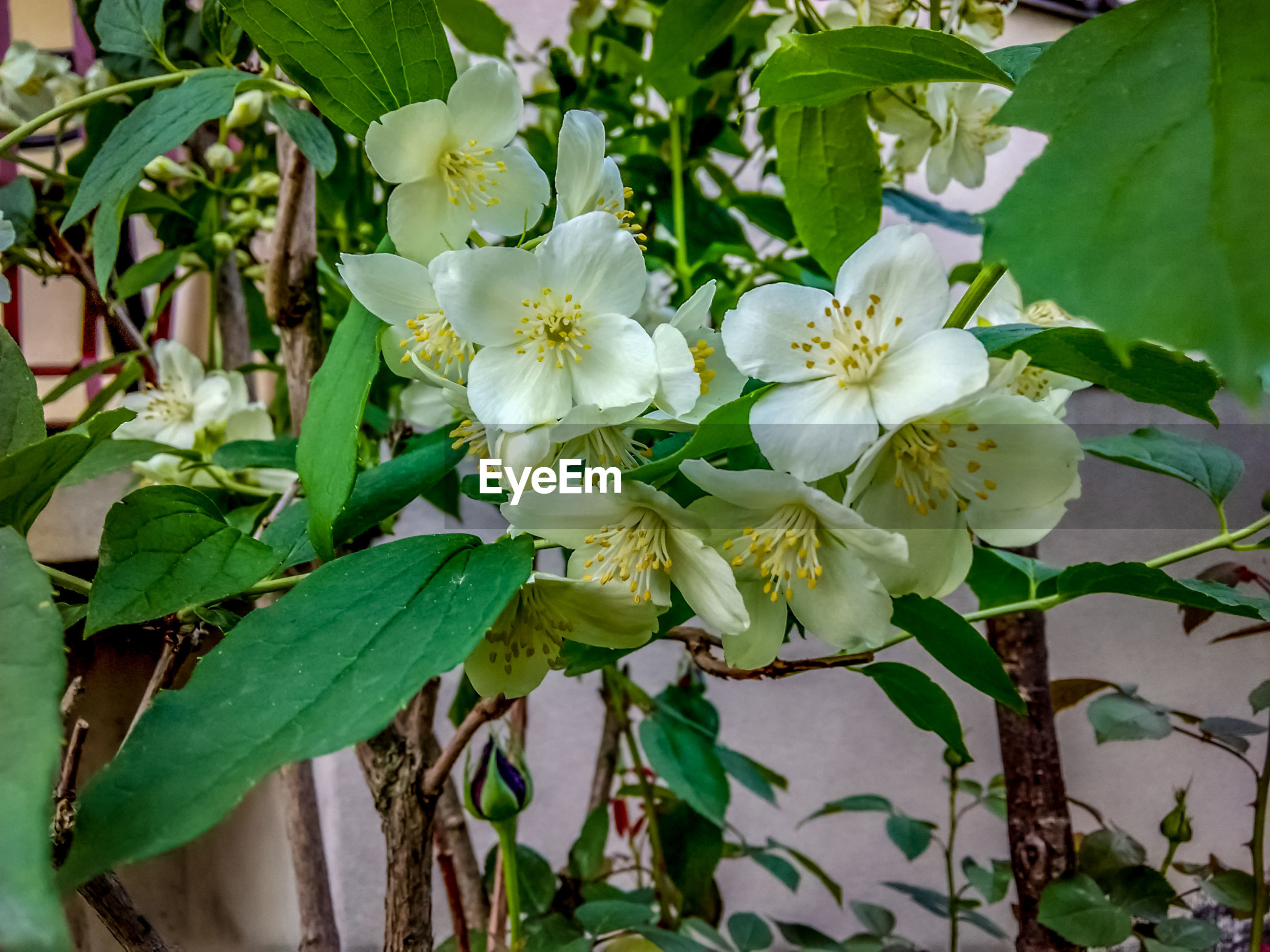 flower, growth, nature, beauty in nature, fragility, white color, plant, petal, leaf, freshness, no people, blossom, blooming, green color, flower head, tree, outdoors, day, branch, close-up