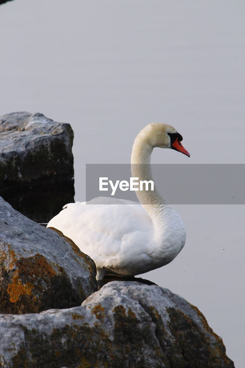 animals in the wild, one animal, animal themes, animal wildlife, bird, rock - object, white color, day, swan, nature, no people, lake, outdoors, water, close-up, swimming, beauty in nature, black swan