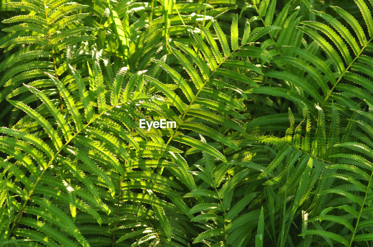 growth, green color, leaf, plant, plant part, beauty in nature, no people, nature, full frame, day, backgrounds, fern, outdoors, close-up, tree, foliage, tranquility, lush foliage, sunlight, freshness, rainforest, palm leaf