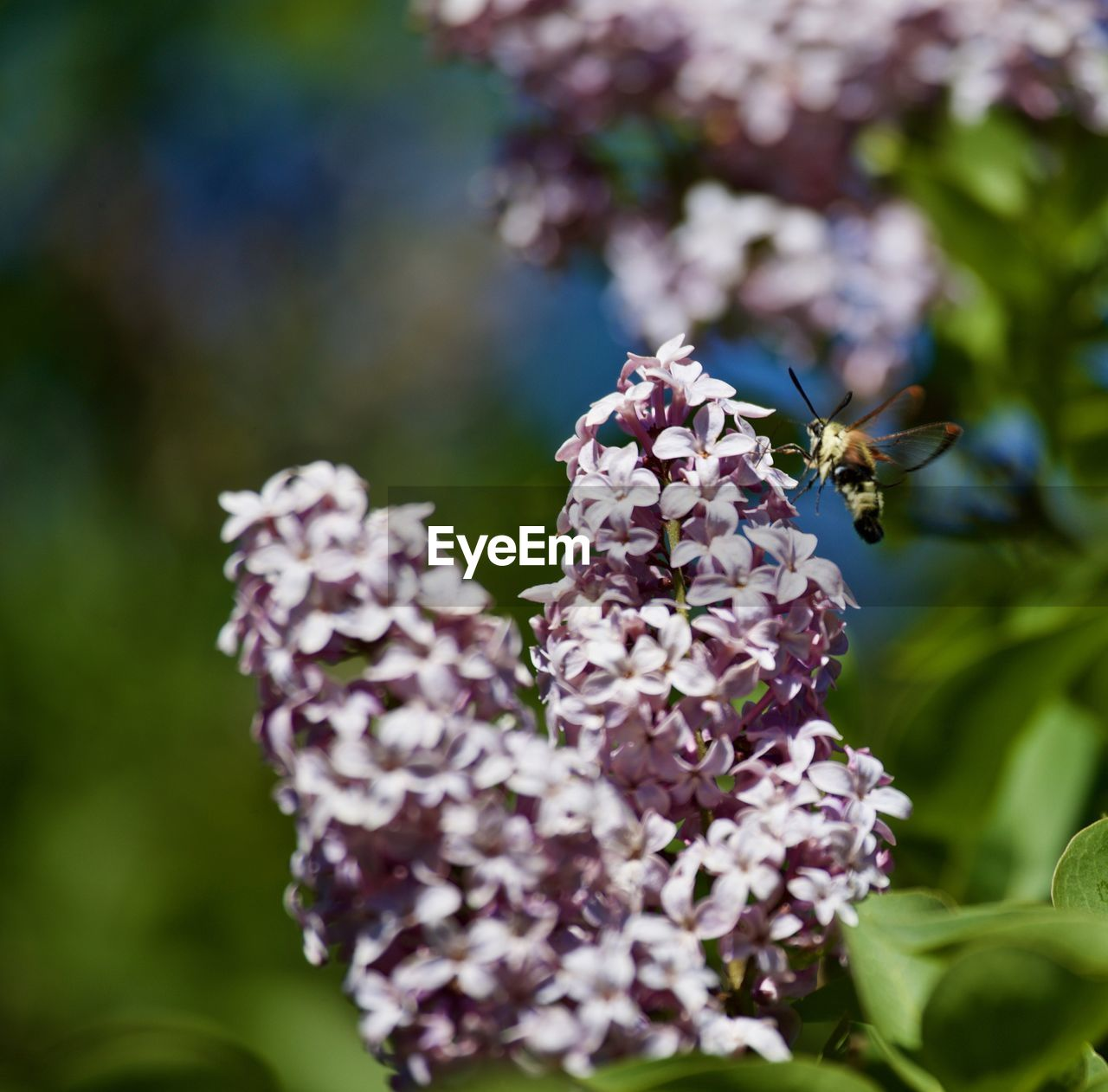 flower, invertebrate, insect, plant, flowering plant, animals in the wild, animal themes, animal wildlife, beauty in nature, freshness, fragility, animal, one animal, growth, vulnerability, bee, petal, close-up, flower head, pollination, no people, purple, outdoors, hovering, lilac, butterfly - insect