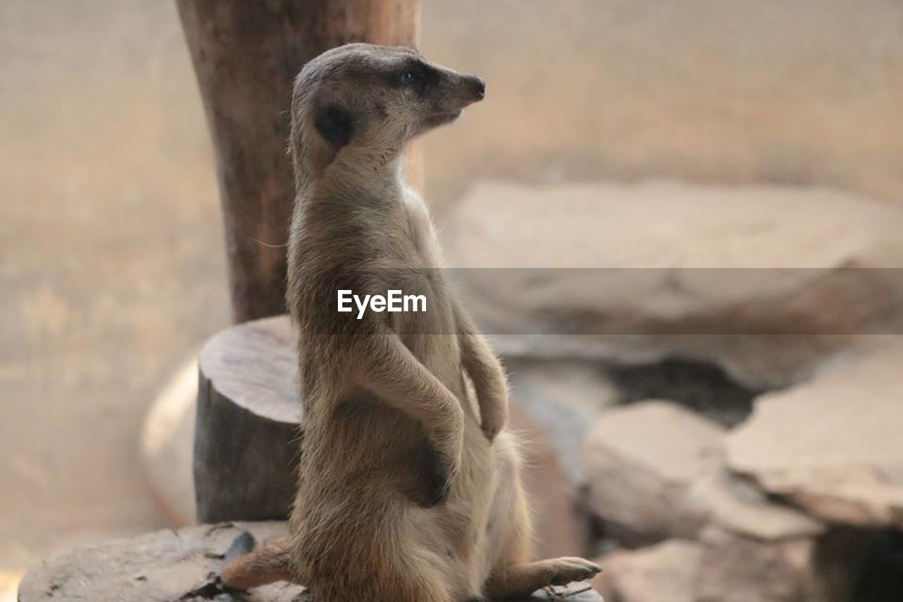 one animal, mammal, animal wildlife, animals in the wild, solid, rock, vertebrate, rock - object, focus on foreground, meerkat, no people, day, nature, looking, sitting, outdoors, looking away