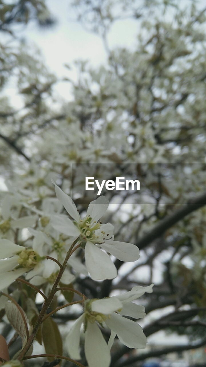 white color, flower, tree, fragility, growth, branch, freshness, blossom, nature, apple blossom, beauty in nature, petal, day, springtime, no people, close-up, flower head, blooming, outdoors