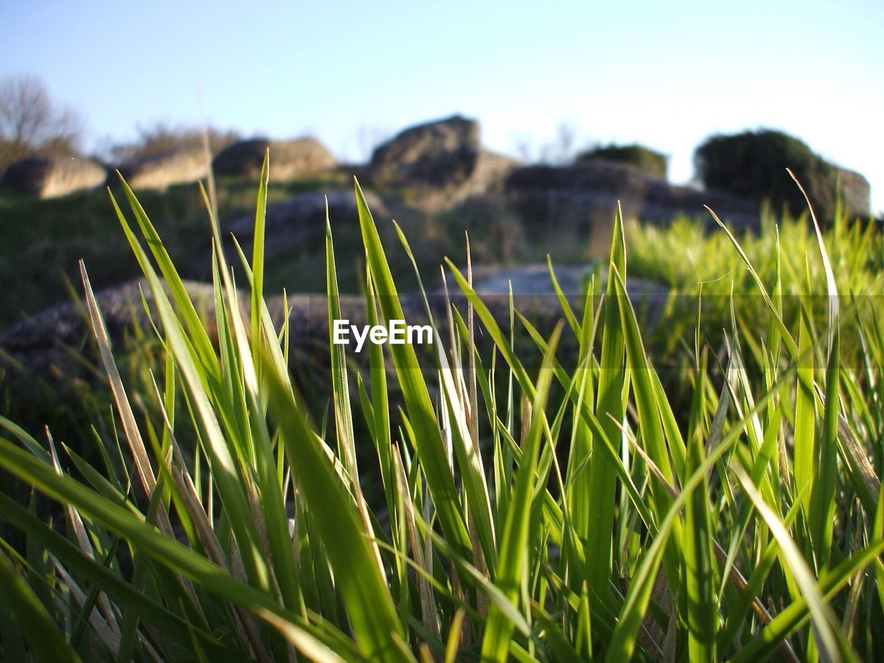 Close-up of grass growing on field against sky