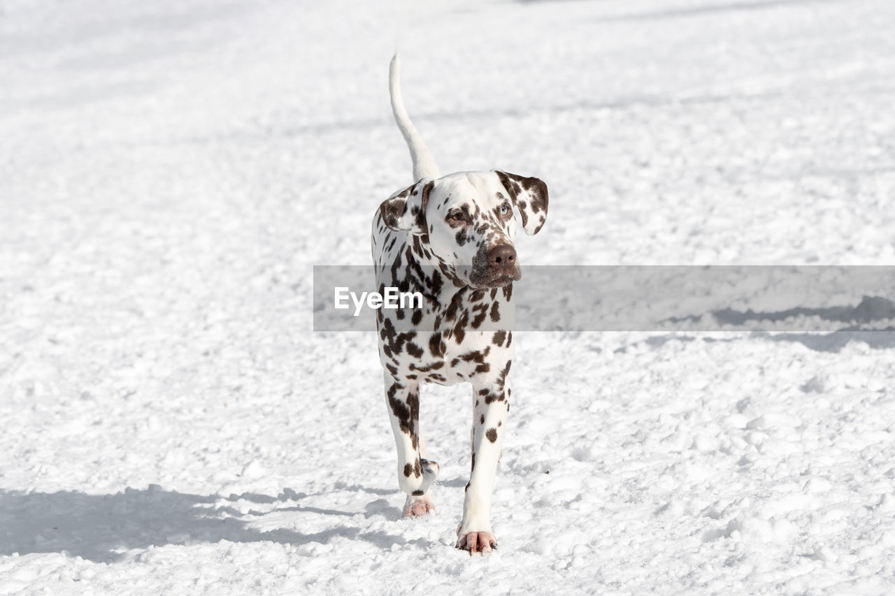 one animal, animal themes, animal, mammal, domestic animals, dog, canine, pets, domestic, vertebrate, snow, spotted, cold temperature, day, nature, no people, winter, dalmatian dog, walking, outdoors, purebred dog
