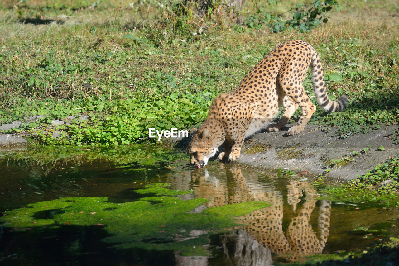 Side view of leopard drinking water from pond in forest