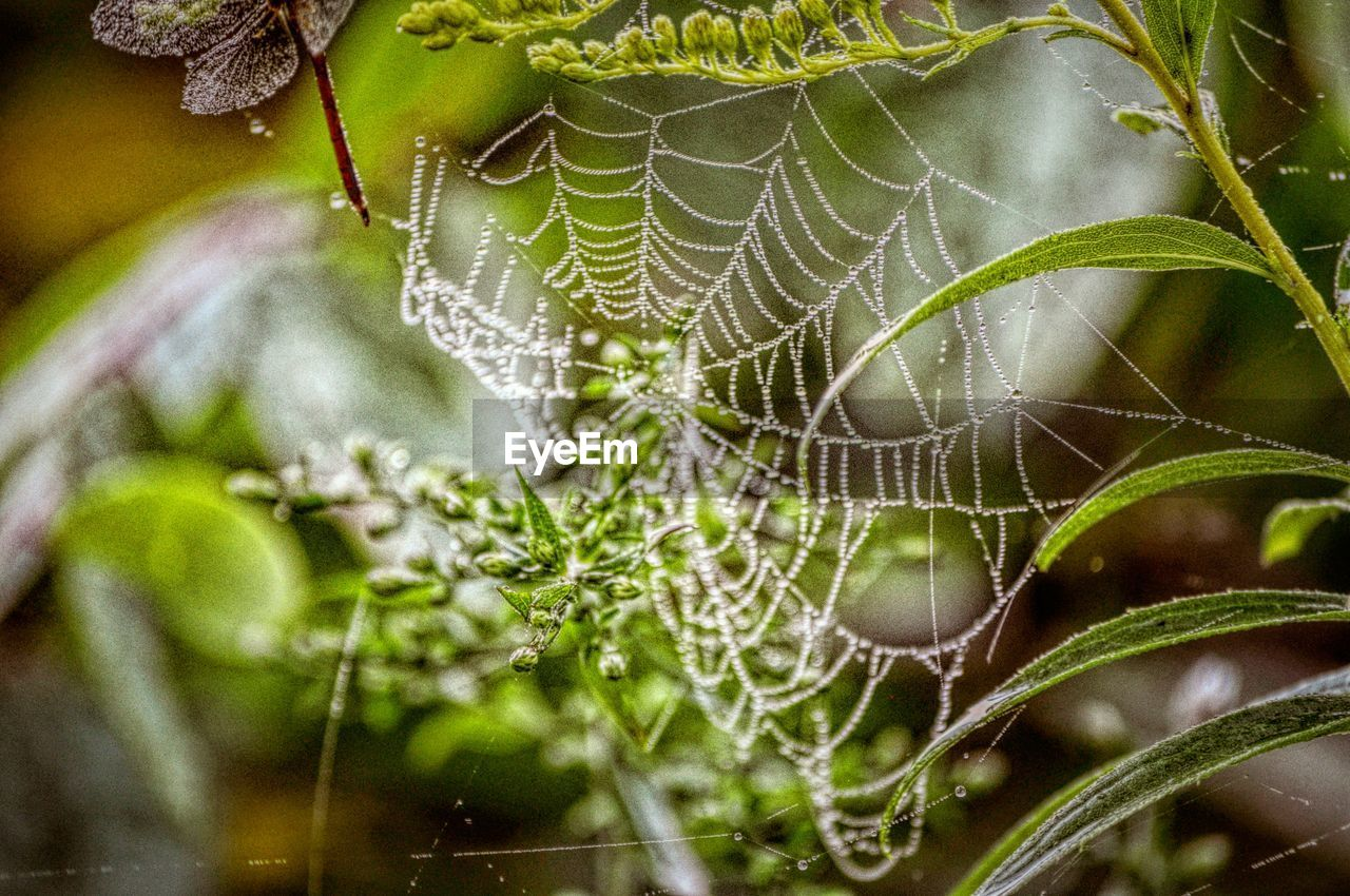 spider web, spider, one animal, nature, web, close-up, animal themes, focus on foreground, insect, animals in the wild, no people, outdoors, day, leaf, green color, growth, fragility, beauty in nature, plant, freshness