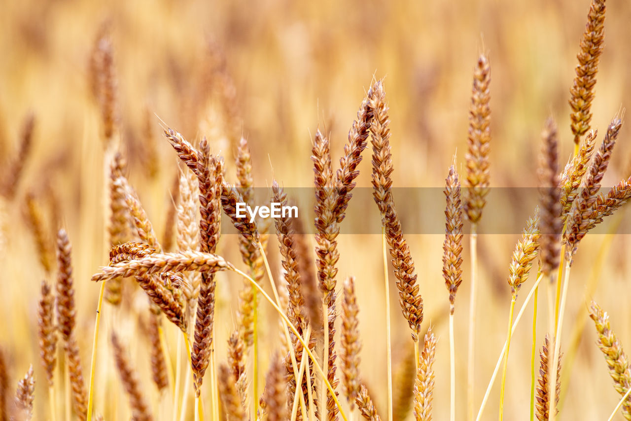 agriculture, cereal plant, growth, crop, plant, close-up, field, nature, rural scene, wheat, farm, no people, day, selective focus, beauty in nature, land, landscape, backgrounds, sunlight, focus on foreground, outdoors, stalk