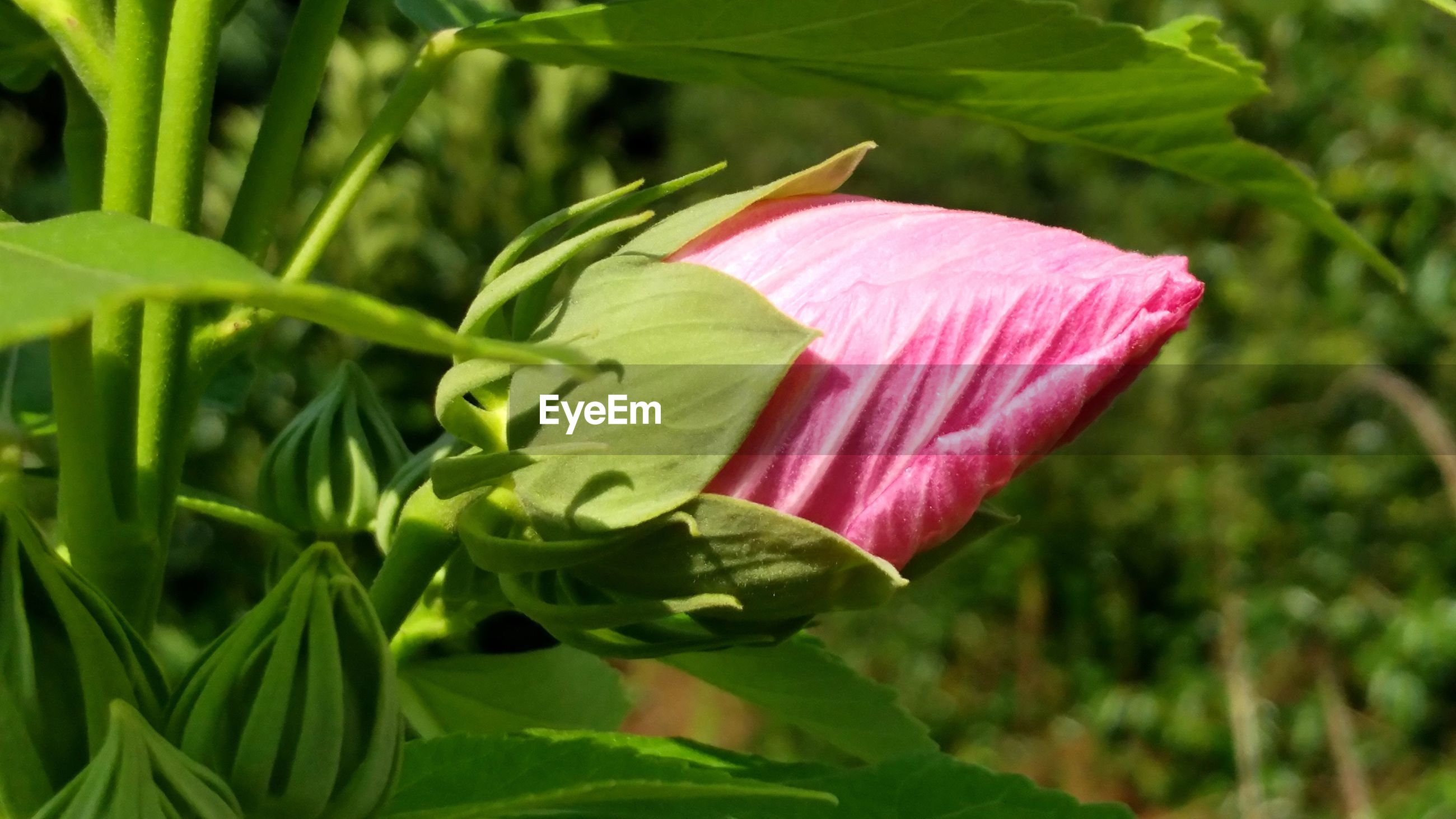flower, growth, petal, freshness, leaf, pink color, fragility, beauty in nature, plant, green color, nature, flower head, close-up, focus on foreground, blooming, stem, outdoors, day, no people, blossom, in bloom, selective focus, green, botany, tranquility, growing