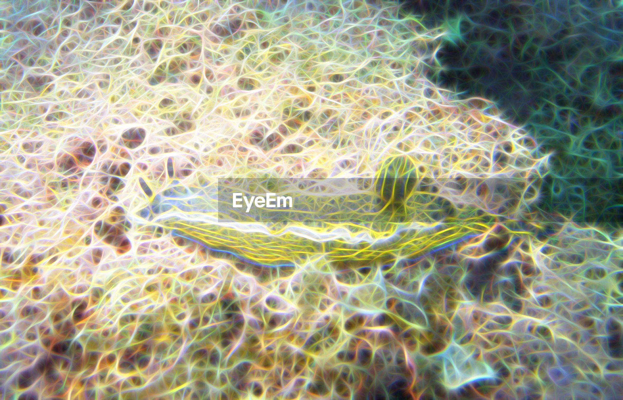 Close-up of hypselodoris picta underwater
