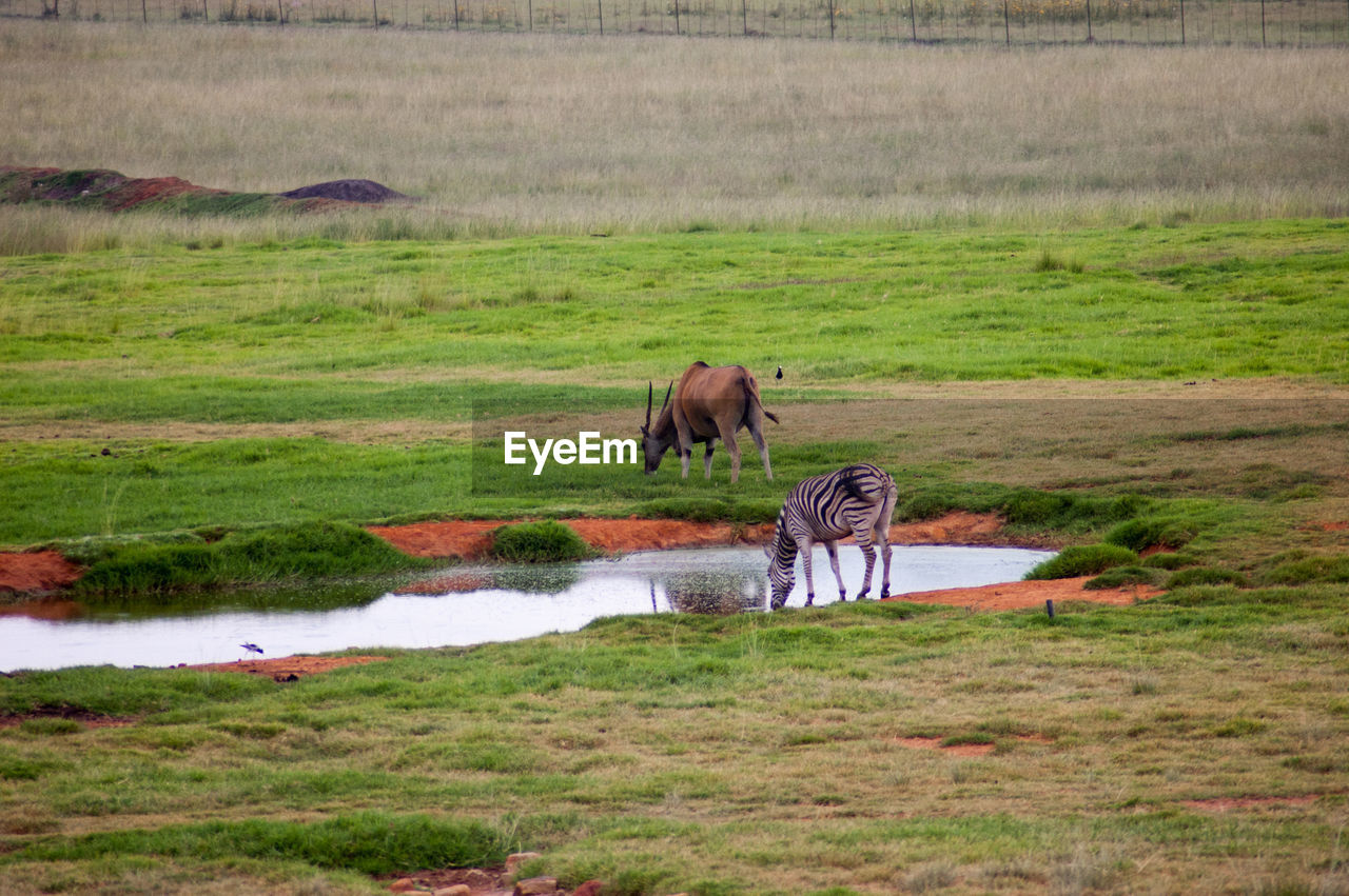 grass, animal themes, animals in the wild, mammal, field, nature, landscape, water, no people, day, green color, animal wildlife, outdoors, grazing, safari animals, scenics, beauty in nature