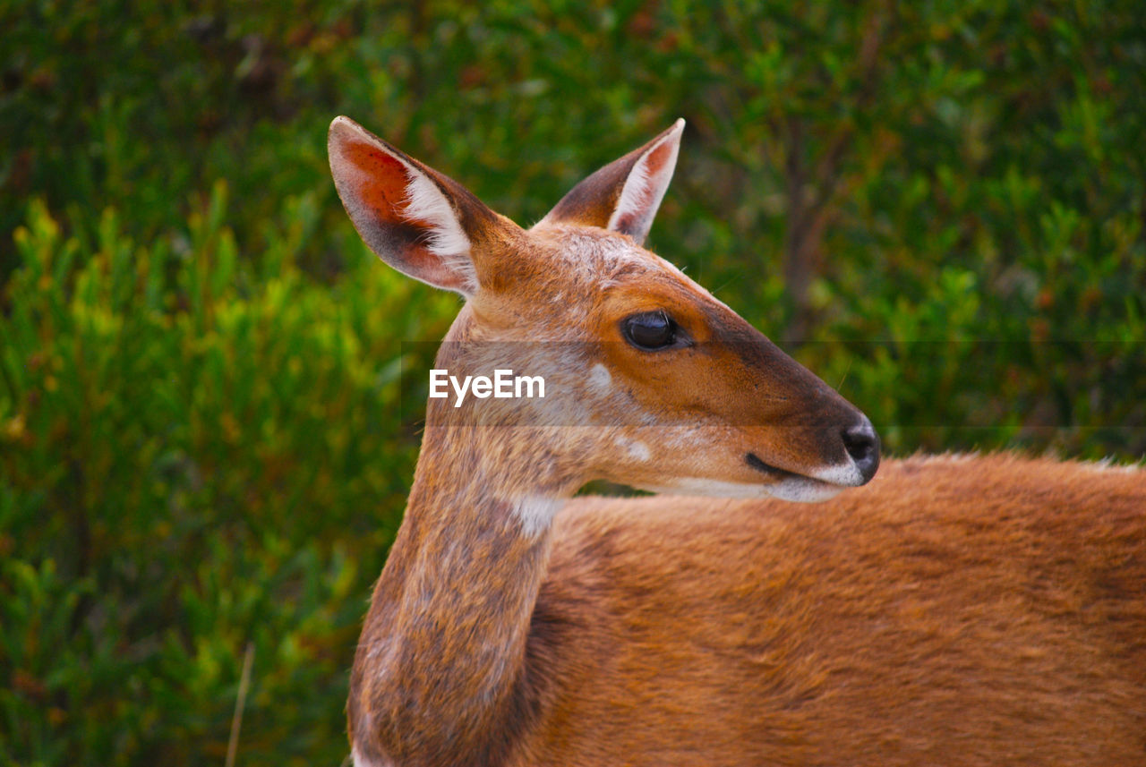 animal, animal themes, one animal, animal wildlife, mammal, animals in the wild, focus on foreground, no people, vertebrate, brown, nature, plant, day, looking away, land, deer, close-up, field, domestic animals, herbivorous, animal head, animal eye