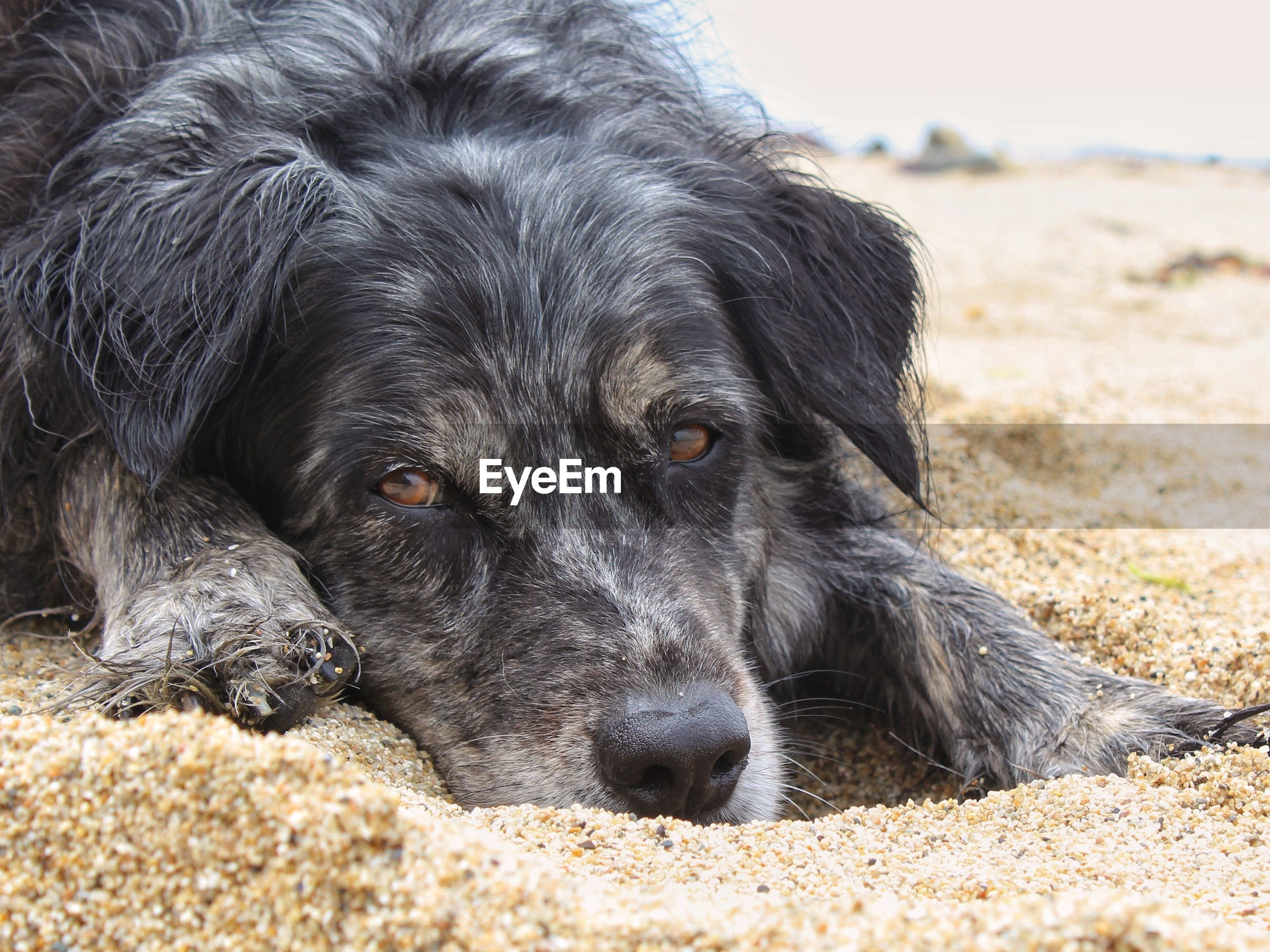 CLOSE-UP PORTRAIT OF A DOG LYING ON SAND