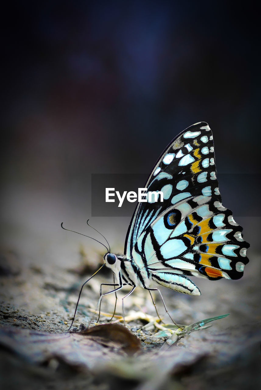 insect, invertebrate, animal, animal themes, animal wing, animal wildlife, animals in the wild, one animal, close-up, butterfly - insect, selective focus, animal markings, beauty in nature, no people, nature, day, focus on foreground, outdoors, natural pattern, animal body part, butterfly