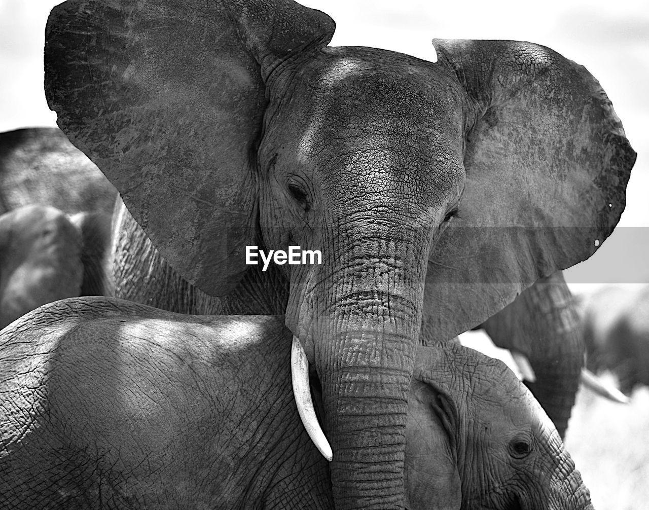 animal, elephant, animal themes, mammal, animal wildlife, animal body part, animals in the wild, vertebrate, animal trunk, two animals, group of animals, day, no people, animal head, close-up, safari, focus on foreground, outdoors, herbivorous, animal family