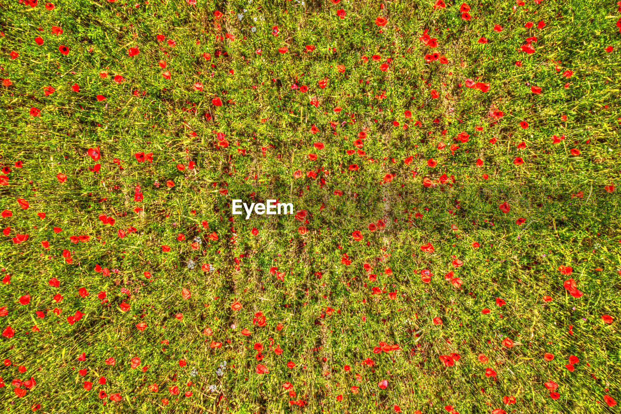 red, plant, flower, backgrounds, freshness, flowering plant, green color, no people, beauty in nature, nature, grass, full frame, growth, land, day, field, outdoors, summer, abundance, fruit, flowerbed