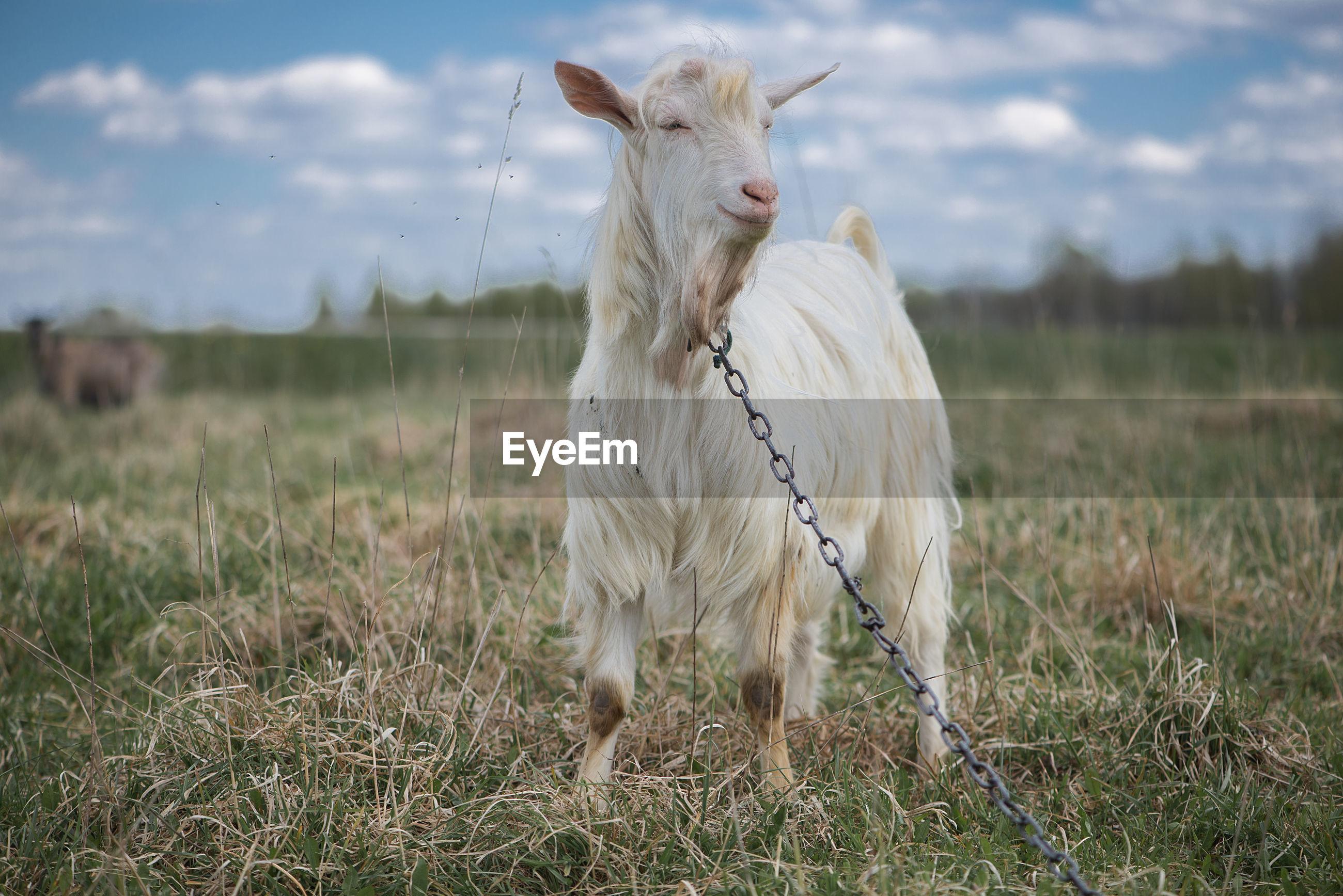 White goat standing on field against sky
