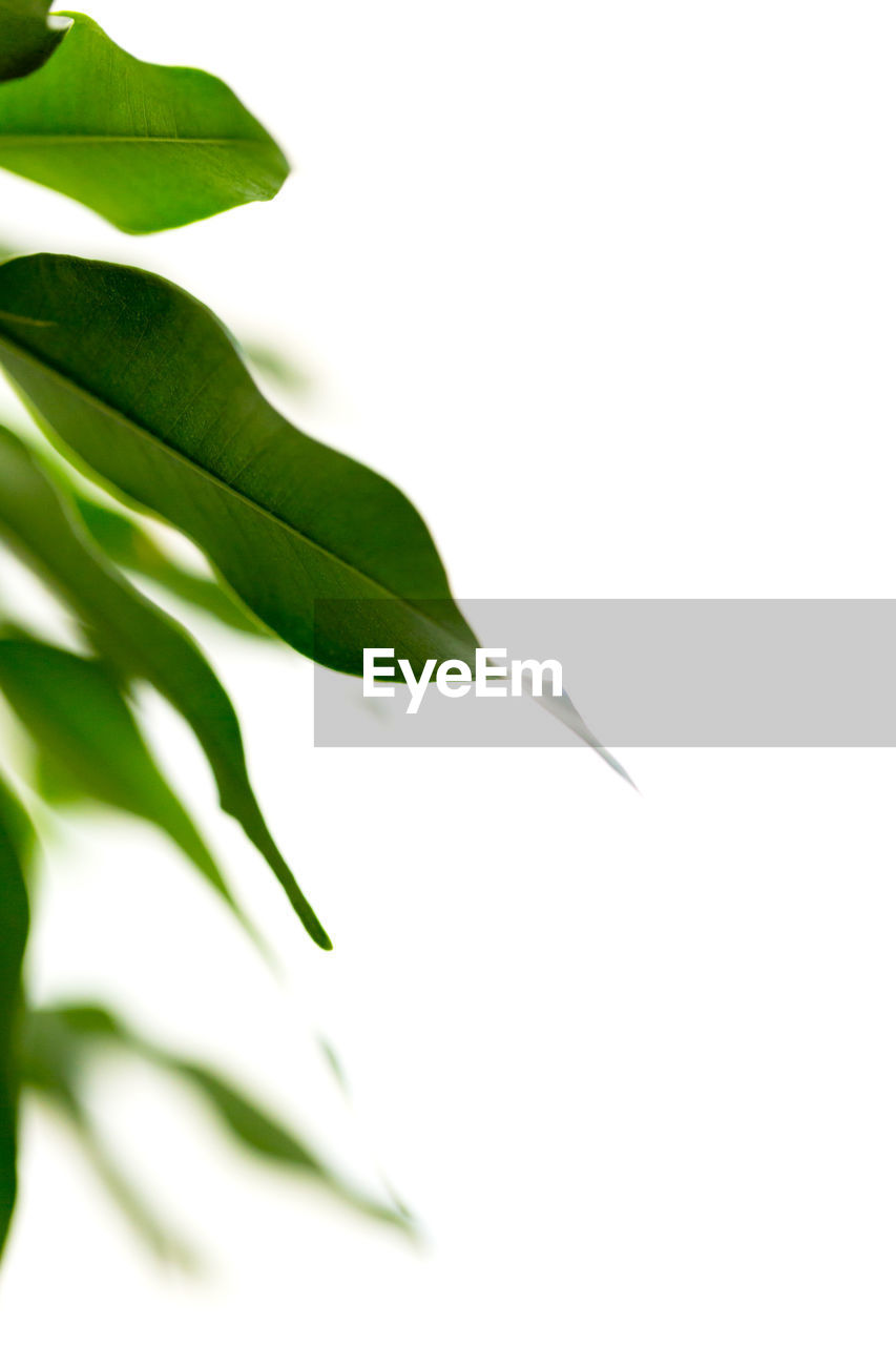 leaf, white background, plant, growth, green color, nature, freshness, close-up, no people, studio shot, beauty in nature, fragility, outdoors, day