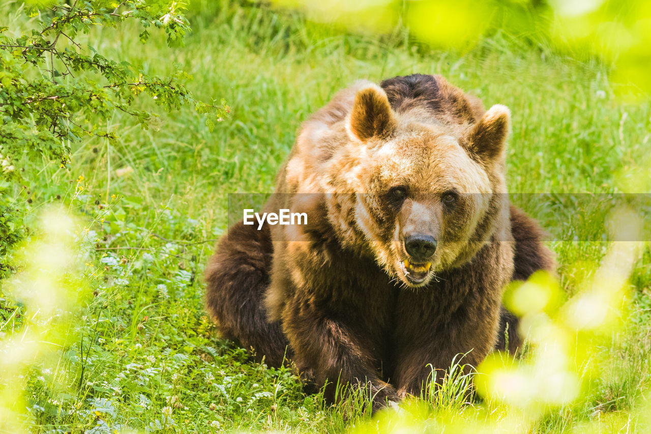 animal, animal themes, animal wildlife, mammal, animals in the wild, grass, one animal, plant, bear, nature, portrait, no people, green color, looking at camera, land, day, vertebrate, field, outdoors