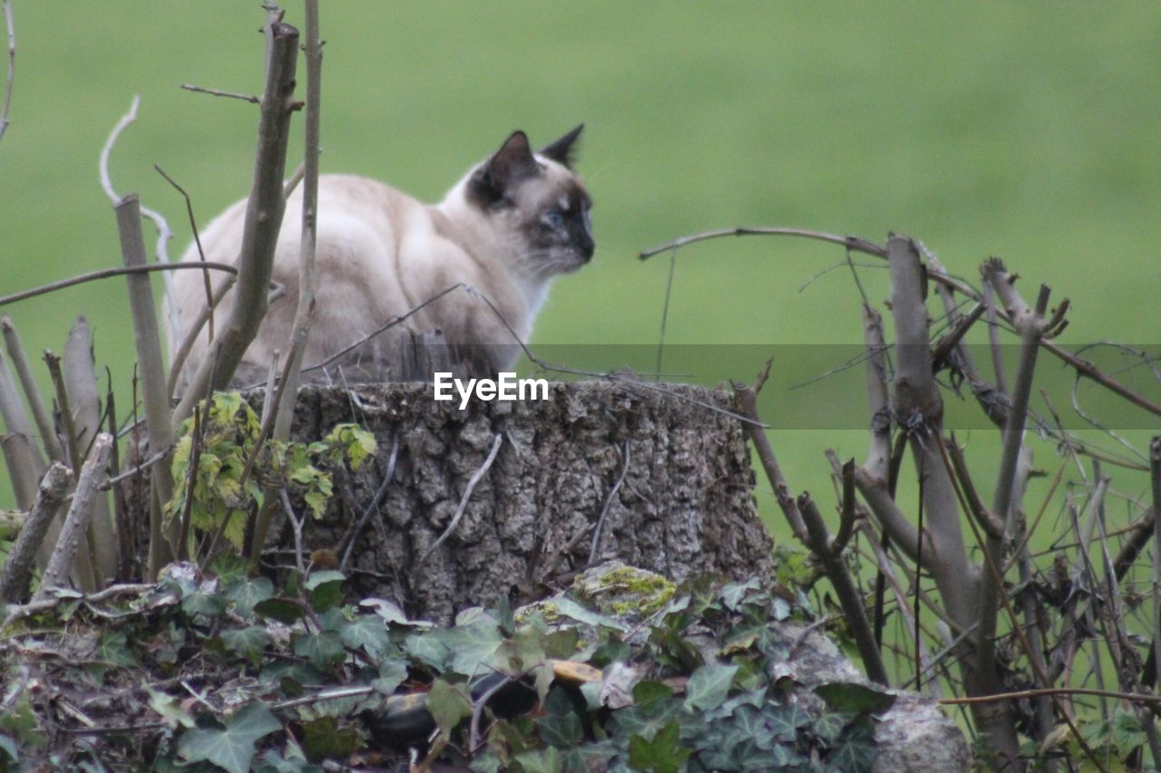 animal themes, one animal, mammal, no people, domestic animals, day, outdoors, pets, feline, plant, nature, domestic cat, animals in the wild, close-up