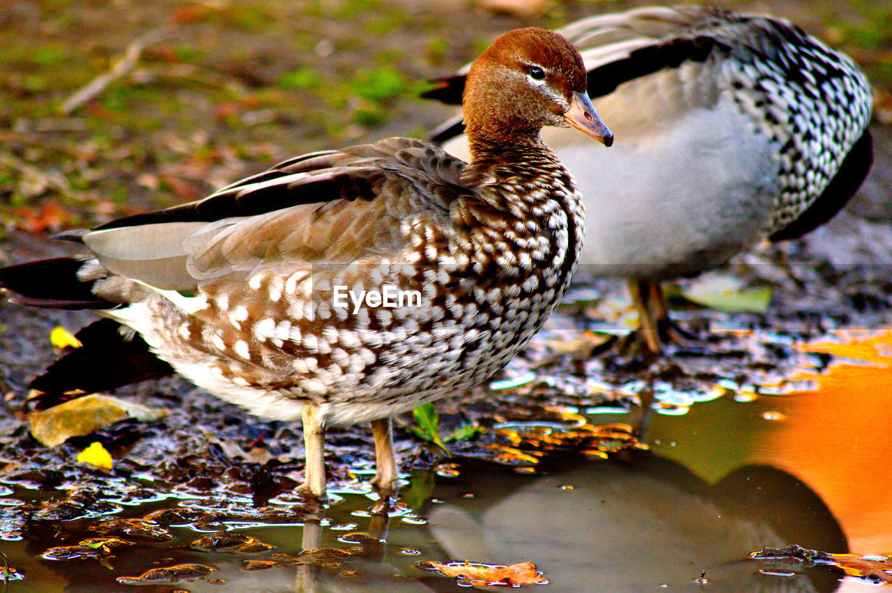 bird, animal themes, animal, animals in the wild, animal wildlife, vertebrate, one animal, water, no people, duck, poultry, day, nature, focus on foreground, lake, full length, close-up, leaf, plant part