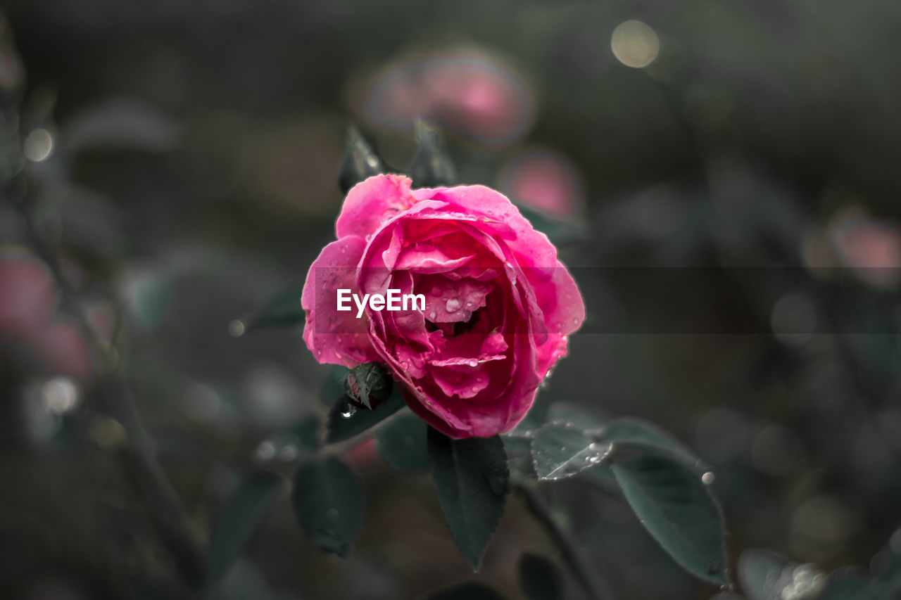 flower, beauty in nature, flowering plant, plant, freshness, fragility, vulnerability, close-up, petal, inflorescence, flower head, pink color, growth, rose, rose - flower, nature, focus on foreground, no people, wet, outdoors